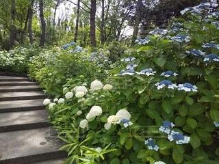 紫陽花の咲く散歩道の写真・画像素材[4551300]