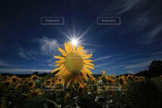 青空と向日葵の写真・画像素材[4668348]