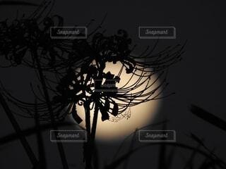 自然,風景,空,花,霧,シルエット,月,彼岸花,曼珠沙華,草木,月光