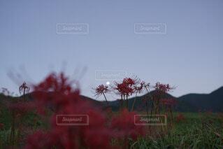 自然,風景,空,花,秋,屋外,樹木,月,彼岸花,曼珠沙華,草木