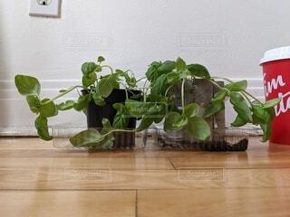 カフェ,屋内,花瓶,床,リラックス,おうちカフェ,家庭菜園,ドリンク,バジル,栽培,おうち,ライフスタイル,元気ない,枯れてる,しおれてる,屋内栽培,インドア栽培