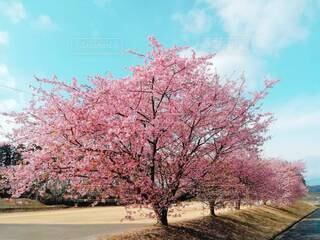 いつかの桜の写真・画像素材[4256208]