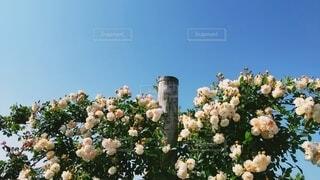 バラと空の写真・画像素材[4375064]