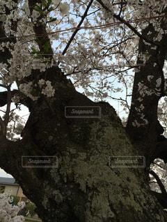 いにしえに咲くの写真・画像素材[4261038]
