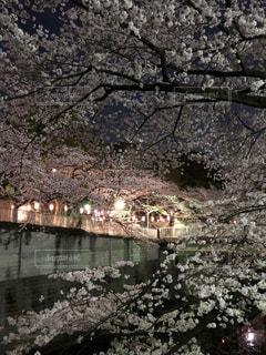 風景,桜,夜,神田川