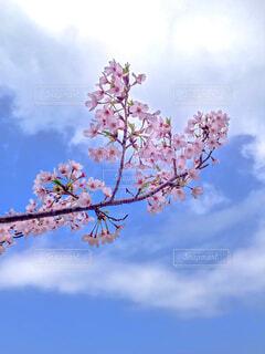 空,花,春,屋外,雲,青,樹木,草木,桜の花,日中,さくら,ブロッサム