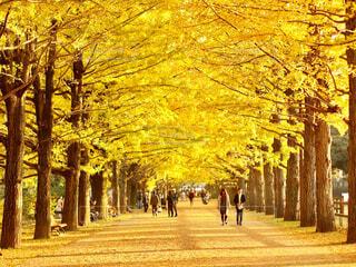 昭和記念公園のイチョウ並木の写真・画像素材[4296039]