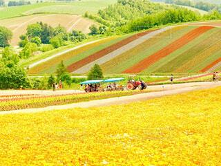 四季彩の丘の黄色花畑の中のトラクターの写真・画像素材[4296038]
