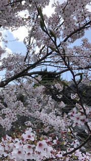 空,花,春,屋外,樹木,つぼみ,草木,桜の花,小枝,さくら,ブルーム,ブロッサム