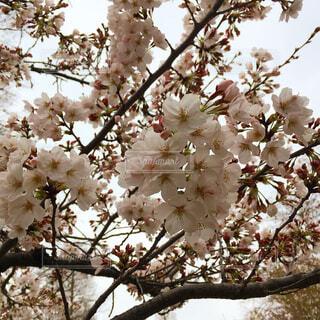 曇り空の桜の写真・画像素材[4268484]
