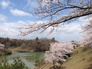 水辺の桜並木の写真・画像素材[4273610]