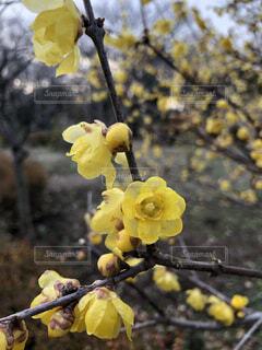 寒空に鮮やかな透明感のある蝋梅の写真・画像素材[4358388]