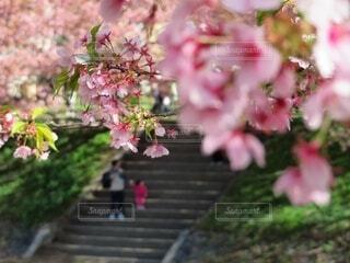 親子で河原の桜並木を散歩の写真・画像素材[4275989]