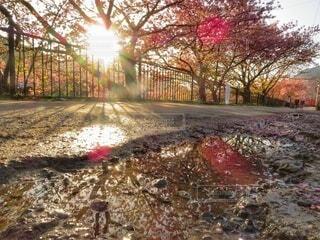 雨上がりの朝の桜並木の写真・画像素材[4276043]