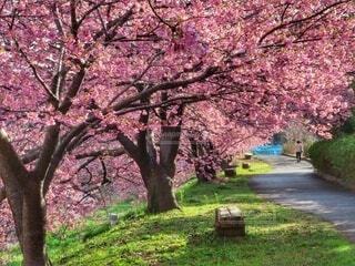 河津桜の散歩道の写真・画像素材[4279471]