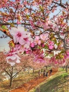 桜の散歩道を帰る家族の写真・画像素材[4279478]