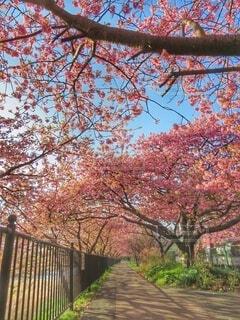 河津桜の並木道の写真・画像素材[4281290]
