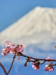 河津桜の開花の写真・画像素材[4296706]