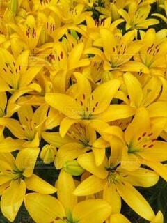 黄色のユリの写真・画像素材[4352666]