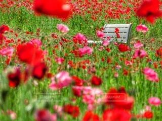 ポピー畑の中の白い長椅子の写真・画像素材[4352688]