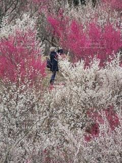梅園で写真を撮る女性の写真・画像素材[4363881]