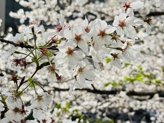 目黒川の桜の写真・画像素材[4287000]