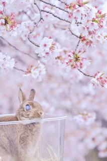 桜うさぎの写真・画像素材[4273394]