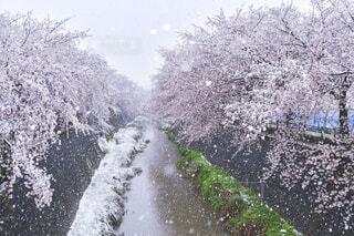 雪と桜の写真・画像素材[4273397]