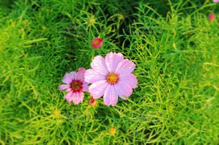 ピンクのコスモスの写真・画像素材[865898]