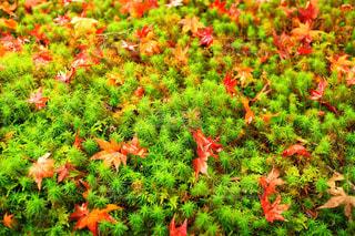フィールドに赤い花の写真・画像素材[867473]