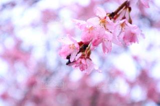 雨の日の桜の写真・画像素材[867624]