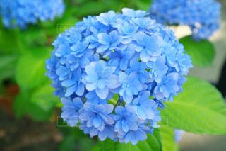 自然,花,植物,あじさい,青,葉,紫陽花,梅雨,6月