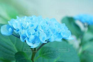 自然,花,植物,あじさい,青,葉,水色,紫陽花,梅雨,6月