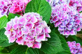 自然,花,ピンク,植物,あじさい,葉,紫陽花,梅雨,6月