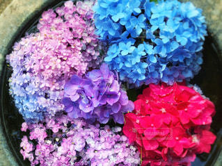 自然,花,ピンク,植物,カラフル,あじさい,青,紫,葉,水色,紫陽花,梅雨,6月