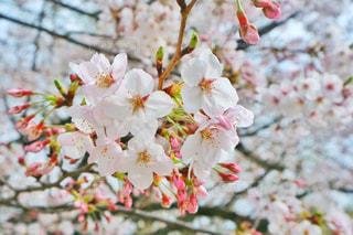 桜の花の写真・画像素材[1885511]