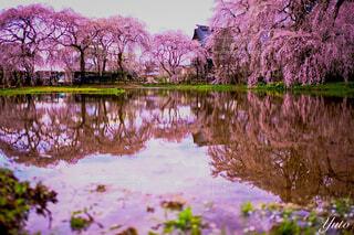 自然,風景,花,桜,屋外,ピンク,川,水面,池,反射,草,樹木,リフレクション,枝垂れ桜,草木