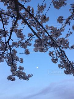 空,春,桜,屋外,青い空,夜桜,樹木,月,癒し,草木,針葉樹