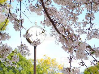 桜の中の時計の写真・画像素材[4283717]