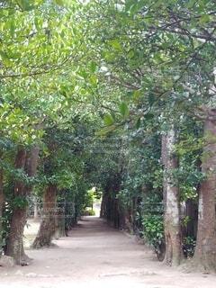 備瀬のフクギ並木の写真・画像素材[4314568]