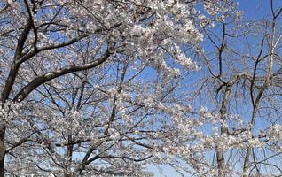花,春,屋外,樹木,桜の花,さくら