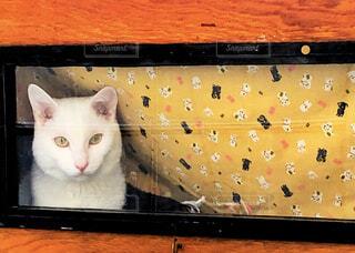 白猫の写真・画像素材[4295944]
