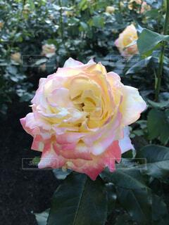 多色薔薇の写真・画像素材[4326190]