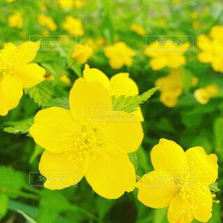 河原の横で可憐に群生している黄色い花の写真・画像素材[4307225]