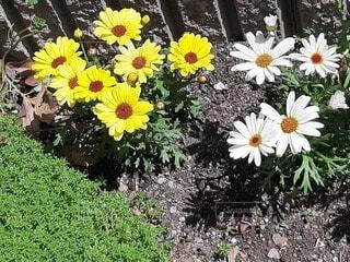 花,屋外,ひまわり,黄色,草木