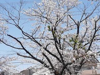 空,花,春,屋外,樹木,草木