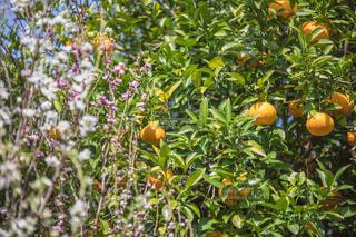 果物のなる木の写真・画像素材[4302615]