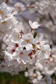 公園,花,春,桜,横浜,山下公園