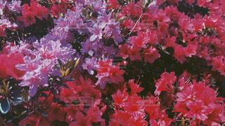 花,春,綺麗,晴れ,お花見,ツツジ