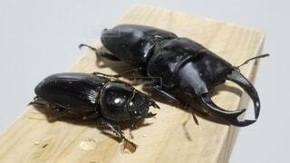 動物,屋内,黒,昆虫,カブトムシ,オオクワ